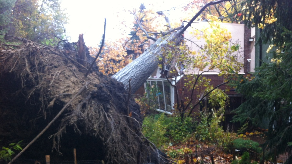 A massive tree topples onto a home in the Victoria Park / Queen Street area on Tuesday, Oct. 30, 2012. (Natalie Johnson / CTV Toronto)