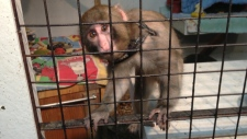 Darwin the Ikea monkey transferred to sanctuary
