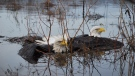A pair of bald eagles -- their talons locked together in battle -- were rescued from a frigid river on Vancouver Island recently after passersby happened to notice the struggling raptors on Sunday, Dec. 30, 2012.