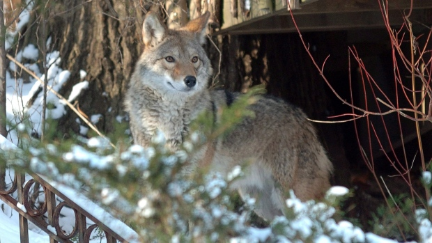 Coyote in Toronto on Dec. 31, 2008.