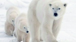 A polar bear mother and her two cubs walk along the shore of Hudson Bay near Churchill, Man., Nov. 7, 2007. (Jonathan Hayward  /THE CANADIAN PRESS)