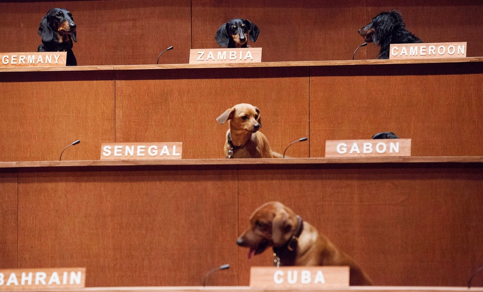 "Dachshund dogs sit in their positions for the performance installation ""Dachshund UN"", where dachshund dogs were used to mimic a United Nations Commission on Human Rights meeting in Toronto on Thursday, February 28, 2013. (Michelle Siu / THE CANADIAN PRESS)"