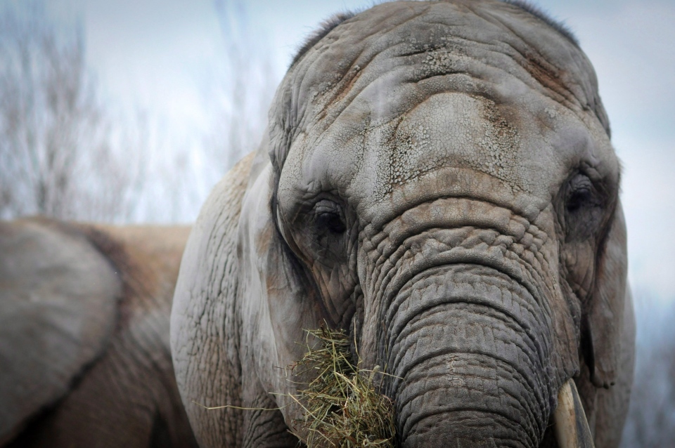 An African elephant, Toka, age 41, is shown in the Toronto Zoo in April 2011. (Zoocheck Canada / Jo-Anne McArthur)