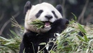 Union warns Toronto Zoo lockout may delay panda exhibit