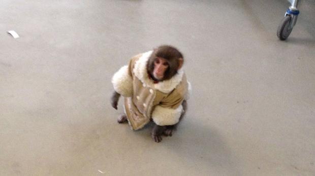 Darwin Ikea Monkey