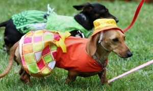Sunshine owned by Carol Vietz, of Brampton, wears a summer outfit costume at the Wienerfest festival for Dachshund dogs in Thamesford (east of London) Ontario, Saturday, June 25, 2011. (Dave Chidley / THE CANADIAN PRESS)