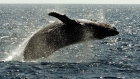 A humpback whale leaps out of the water in the channel off the town of Lahaina on the island of Maui in Hawaii, Jan. 23, 2005. (AP / Reed Saxon)