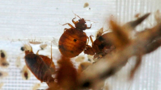 Bedbugs are seen in a container from the lab at the National Pest Management Association, during the National Bed Bug Summit in Washington, Tuesday, Feb. 1, 2011. (AP / Alex Brandon)