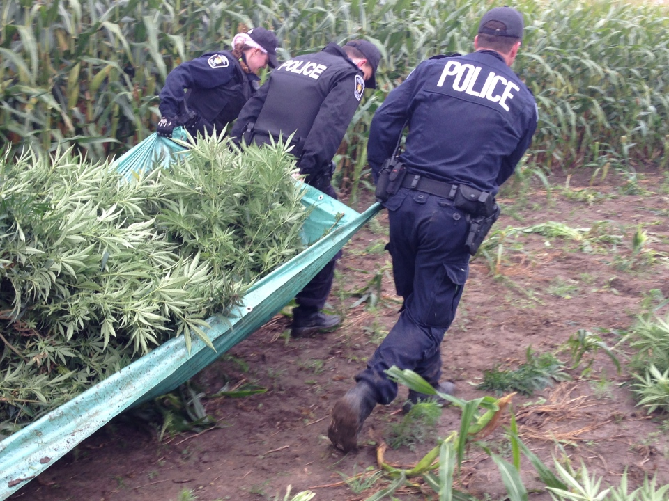 York Regional Police harvested an illegal marijuana crop, which took up a large swath of a farmer's cornfield, and loaded it into trucks to be destroyed. (CTV Toronto / Tamara Cherry)