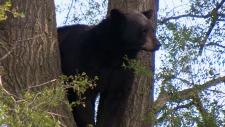 Bear sightings has increased across the GTA