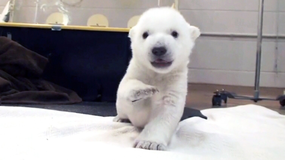 A polar bear cub takes his first steps in the intensive care unit at the Toronto Zoo, Wednesday, Jan. 8, 2014.