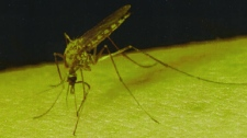 The West Nile virus is transmitted mainly through mosquito bite. (Image Quebec government documentation)