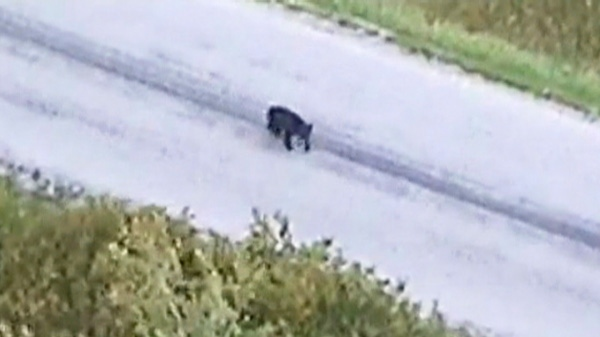 Two joggers with a baby stroller escaped a close call with a black bear without injuries earlier this week, after quick-thinking police officers used a helicopter to spook the animal back into the woods.