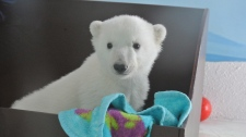 Polar bear cub 'Humphrey' at the Toronto Zoo