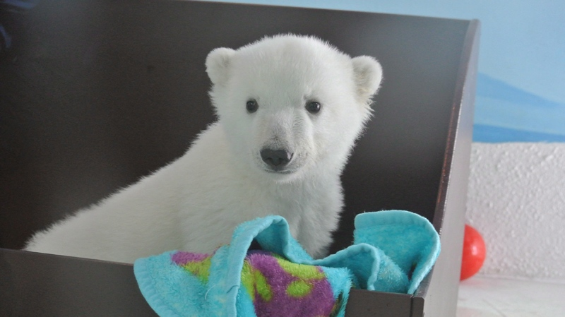 A polar bear cub plays at the Toronto Zoo in this recent handout photo. (THE CANADIAN PRESS/HO - Toronto Zoo)