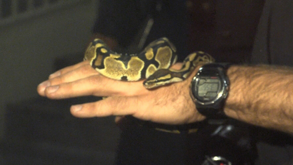 A snake was found in an east-end Toronto apartment, Tuesday, April 22, 2014.
