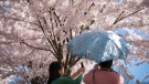 Two women take photos of cherry blossoms at Toronto's High Park Sunday, May 5, 2013. (Graeme Roy / THE CANADIAN PRESS)