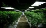 MediJean cannabis plant care technician Misad Shazi sprays water on marijuana plants growing at the medical marijuana facility in Richmond, B.C., on Friday March 21, 2014. (Darryl Dyck / THE CANADIAN PRESS)