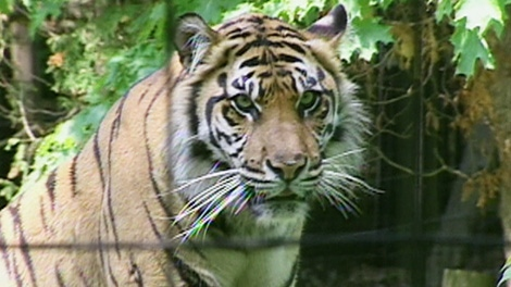 Brytne, 13-year-old a female Sumatran tiger is seen at the Toronto Zoo.