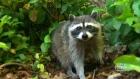 Consumer Alert: Keeping raccoons away