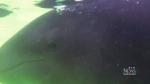 CTV Vancouver: 'False killer whale' beating odds