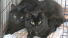 Two of several black cats up for adoption in November are shown in this undated photo. (City of Toronto Animal Services East Region)