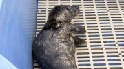 Hiker fined $230 for trying to rescue seal pup