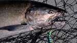 A fall Chinook salmon is shown after it was caught on the Columbia River near Desert Aire, Wash., Sept. 8, 2014. .(AP Photo/Spokesman Review, Rich Landers)
