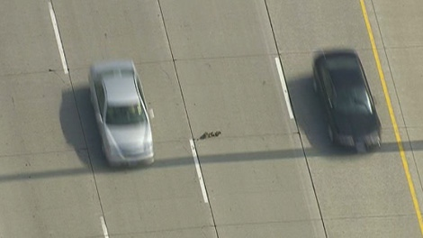 CTV Toronto's helicopter captured a mother duck and her duckling attempting to cross three lanes of fast moving traffic on the Hwy 407 on Wednesday, May 2, 2012.