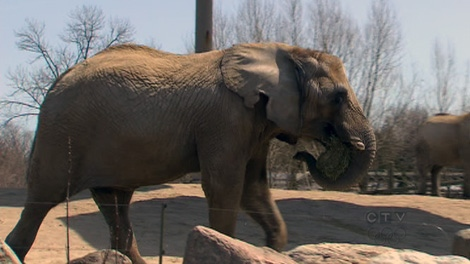The city is working on a deal to send zoo elephants to a sanctuary in California on Thursday, May 3, 2012.