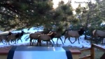 Extended: Elk herd wanders through a backyard