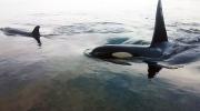 CTV Vancouver: Orca video surprises scientists