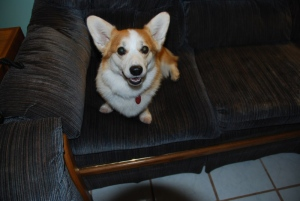 Wayne Cardinal's seven-year-old Corgie, Smidgie, is shown in this undated photo.
