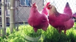 Pink chickens spotted in Portland