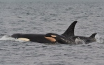A newborn orca spotted near Galiano Island is shown in a handout photo. Researchers say yet another baby has been born to an endangered population of orcas off British Columbia's coast. (Jeanne Hyde / Maya Legacy Whale Watching / The Canadian Press)