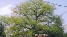A tree believed to be the City of Toronto's largest red oak stands in a North York backyard. (City of Toronto)