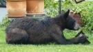 A bear is shown in an Ottawa-area backyard.