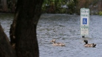 Ducks swim over a submerged parking lot on the shores of Grapevine Lake in Grapevine, Texas, Wednesday, July 1, 2015. (AP / LM Otero)