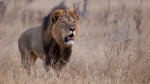 Cecil the lion is seen here in Zimbabwe. (Cecil the Lion community group / Facebook)