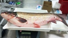 An Asian carp is seen after being found in a Toronto pond on Tuesday, July 28, 2015. (Hilary Prince / Fisheries and Oceans Canada)