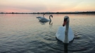Take a break from the hustle and bustle of the big city to step back and admire its beauty. CTV News photojournalist George Stamou turns his lens on Toronto to capture daily life across our city.<br><br> Swans swim at Cherry Beach in Toronto on Friday, Aug. 28, 2015. (George Stamou / CTV News)