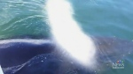 CTV Vancouver: Humpback whale puts on a show
