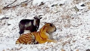 Extended: Russian tiger befriends goat