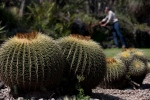 In this Nov. 4, 2015 photo, Dr. Salvador Arias is seen past a cluster of endangered echinocactus grusonii cacti, also known as Biznaga, as he looks at other species inside the botanical gardens of the National Autonomous University of Mexico in Mexico City. (Rebecca Blackwell / AP Photo)