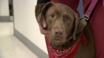 Bean recently retired from donating blood for Vancouver Animal Blood Services. (CTV News).