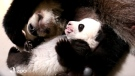 A giant panda and her cub are seen on the cubs' 100th day, in Toronto on Wednesday, Jan. 20, 2016. (Toronto Zoo)