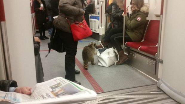 Raccoon spotted on TTC train