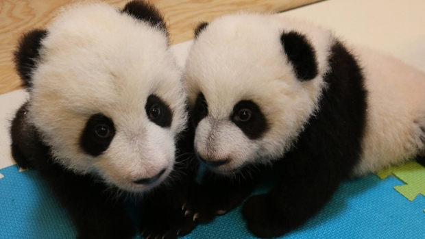 The Toronto Zoo's male (left) and female panda cubs are shown in a photo released Feb. 5, 2016.