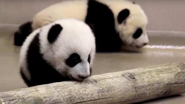 Toronto Zoo's panda cubs