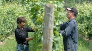 Featherstone Estate Winery owner Louise Engel (left) and senior winemaker David Johnson tuck vines on Wednesday July 16, 2008 in Vineland, Ont. (THE CANADIAN PRESS / Sheryl Nadler)